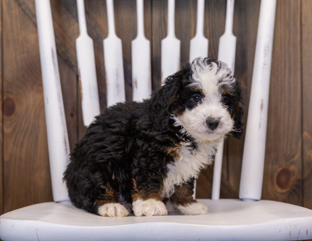 A picture of a Ian, one of our  Bernedoodles puppies that went to their home in Washington