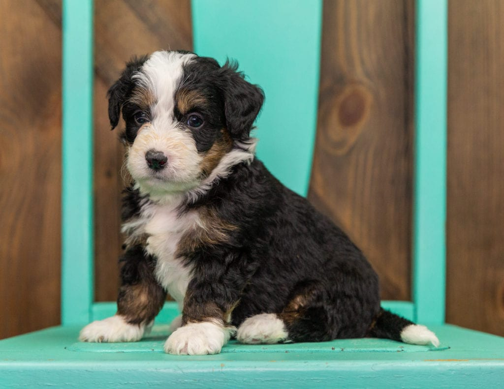 A picture of a Indy, one of our  Bernedoodles puppies that went to their home in California