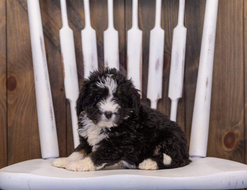 Isaac is an F1 Bernedoodle that should have  and is currently living in California