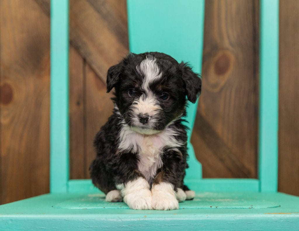 A picture of a Isaac, one of our  Bernedoodles puppies that went to their home in California