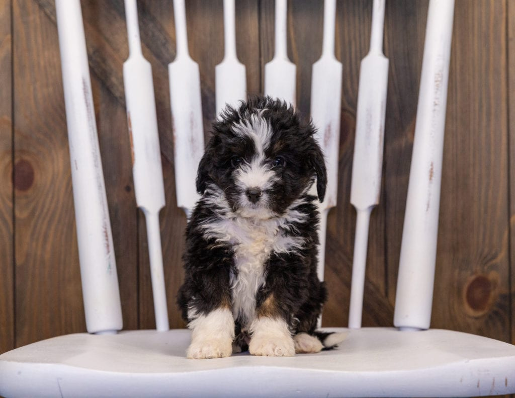 Isaac came from Willow and Stanley's litter of F1 Bernedoodles