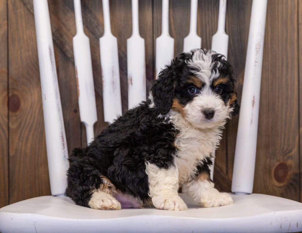 A picture of a Isley, one of our  Bernedoodles puppies that went to their home in Wisconsin