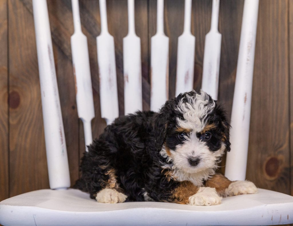 A picture of a Iynz, one of our  Bernedoodles puppies that went to their home in Illinois