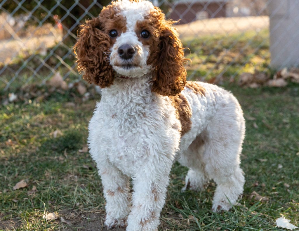A picture of one of our Poodle mother's, Madison.