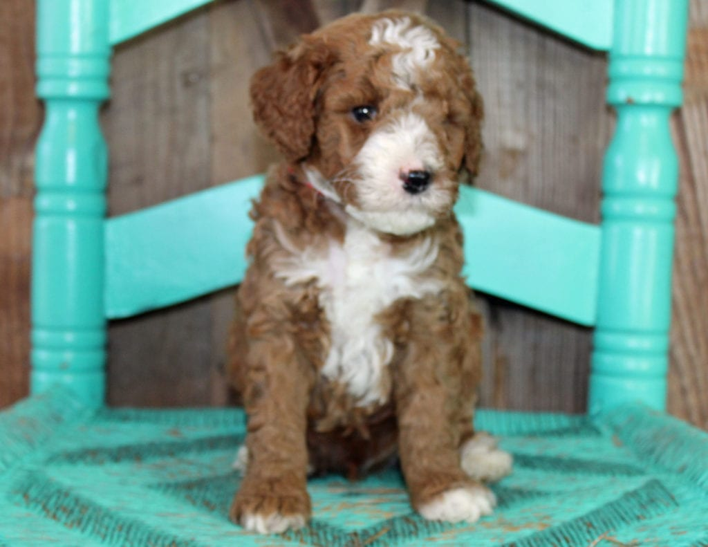 Jack is an F1BB Goldendoodle that should have  and is currently living in Massachusetts