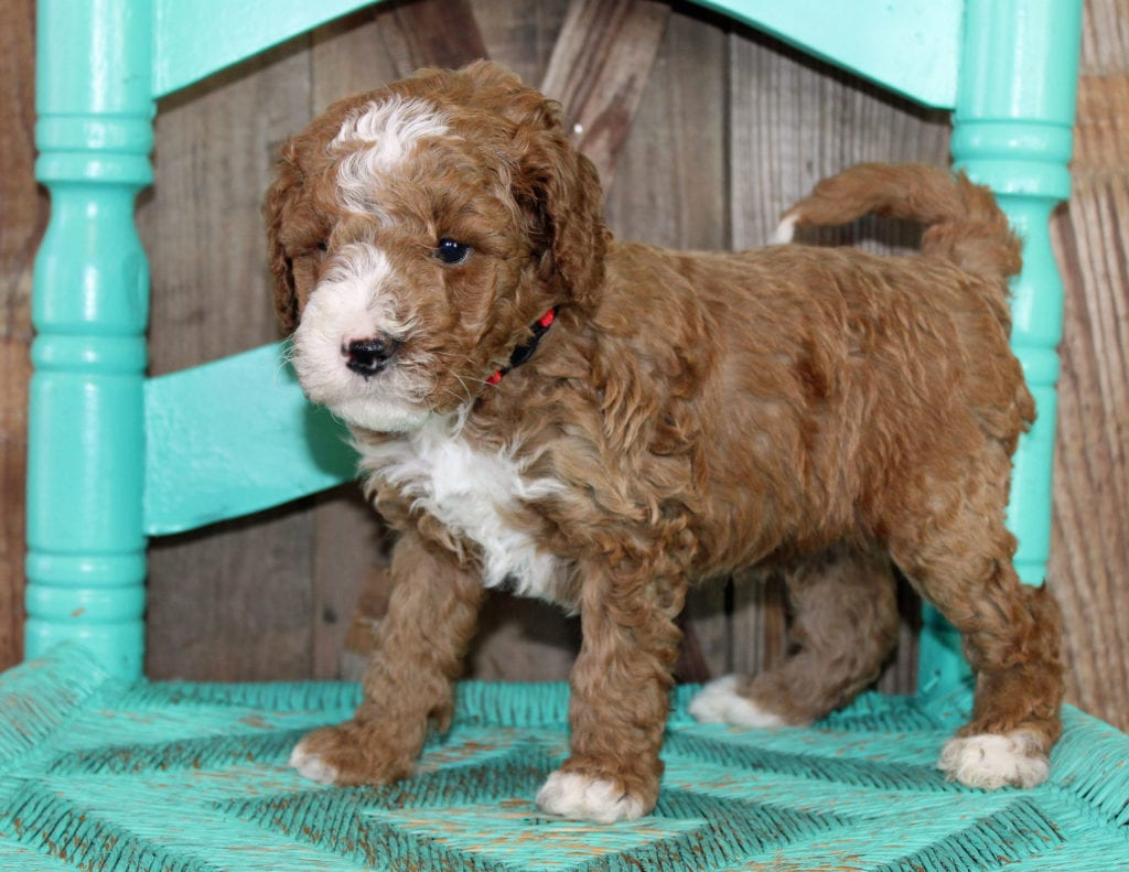 A picture of a Jack, one of our Mini Goldendoodles puppies that went to their home in Massachusetts