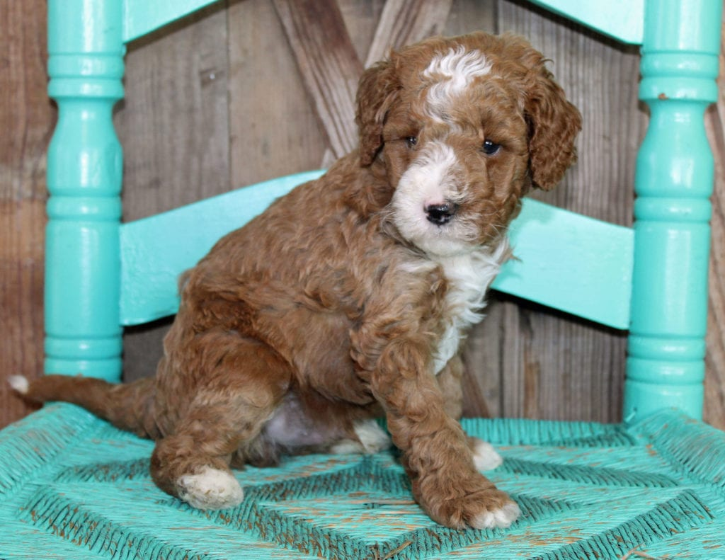 Jack came from Cora and Toby's litter of F1BB Goldendoodles