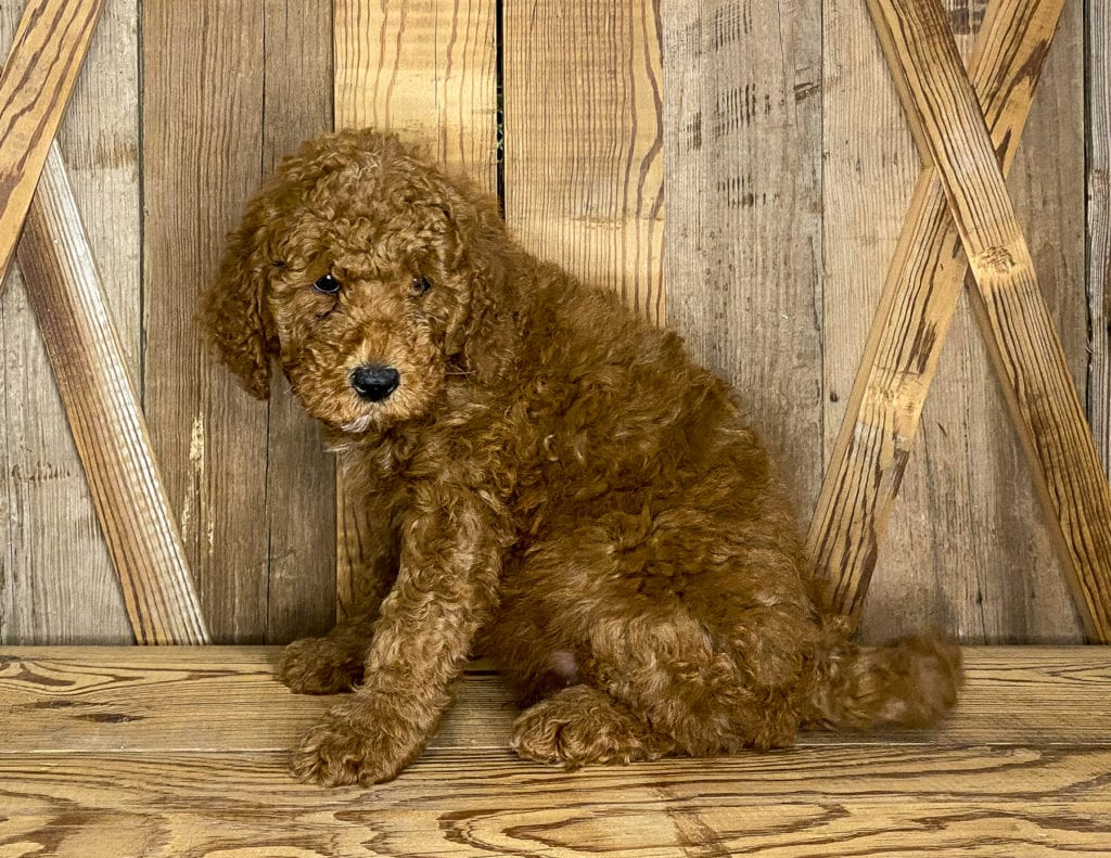 Jasper is an F1BB Goldendoodle that should have  and is currently living in Iowa