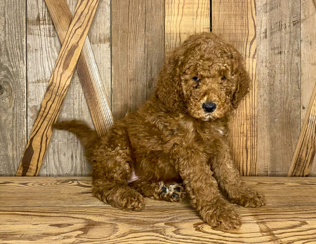 A picture of a Jasper, one of our Mini Goldendoodles puppies that went to their home in Iowa