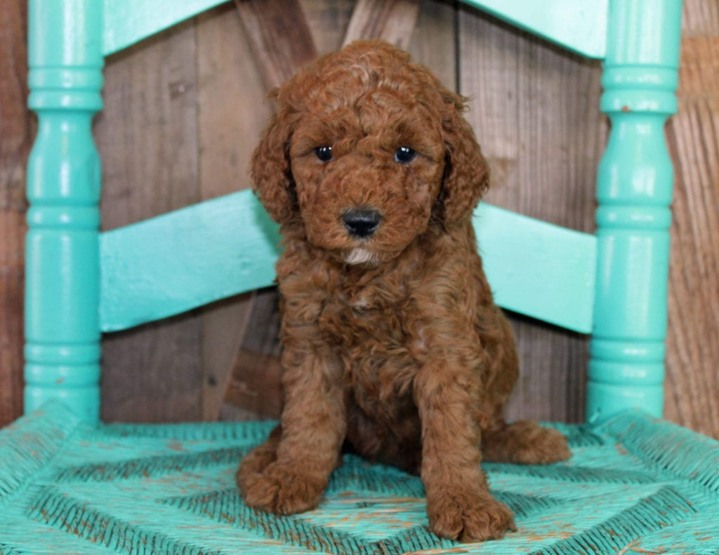 A picture of a Jasper, one of our Mini Goldendoodles for sale