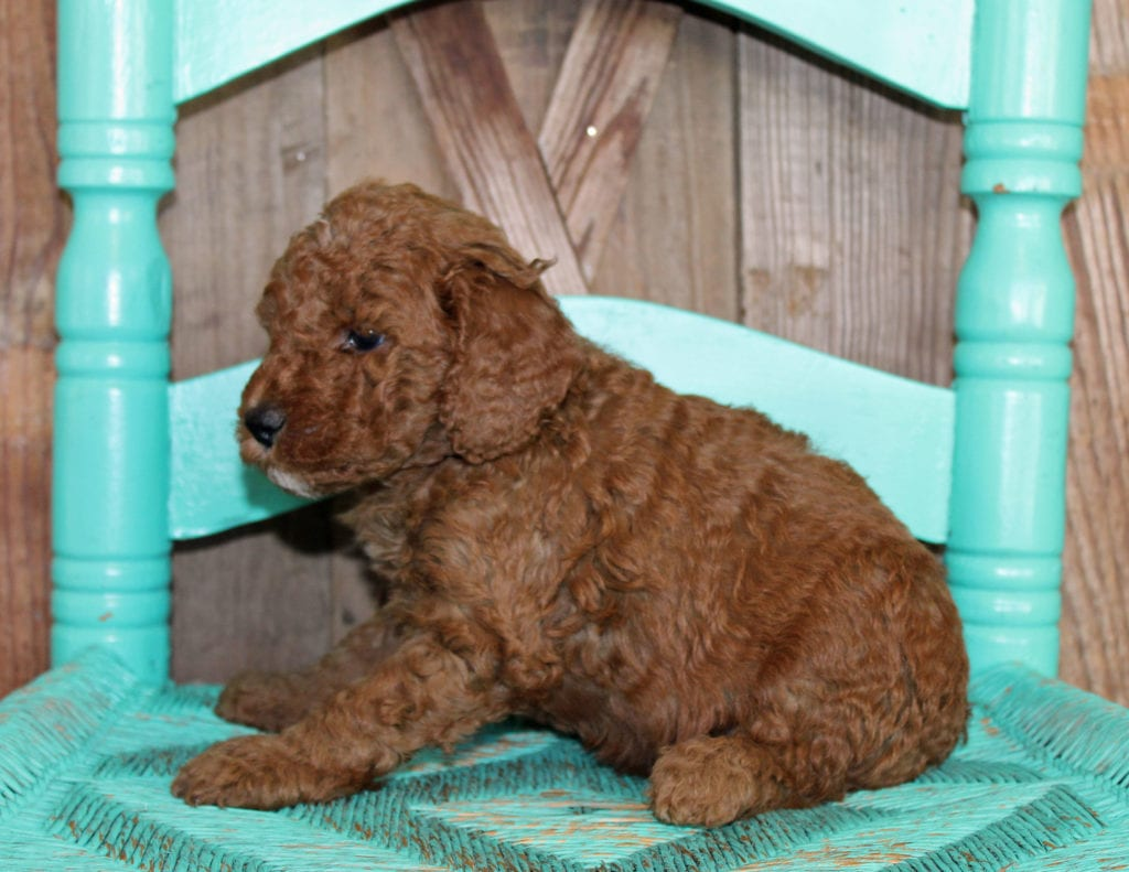 Jasper came from Cora and Toby's litter of F1BB Goldendoodles