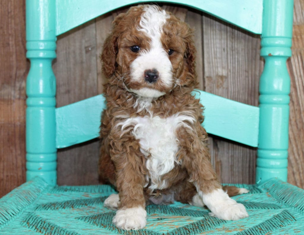 A picture of a Jeff, one of our Mini Goldendoodles puppies that went to their home in California