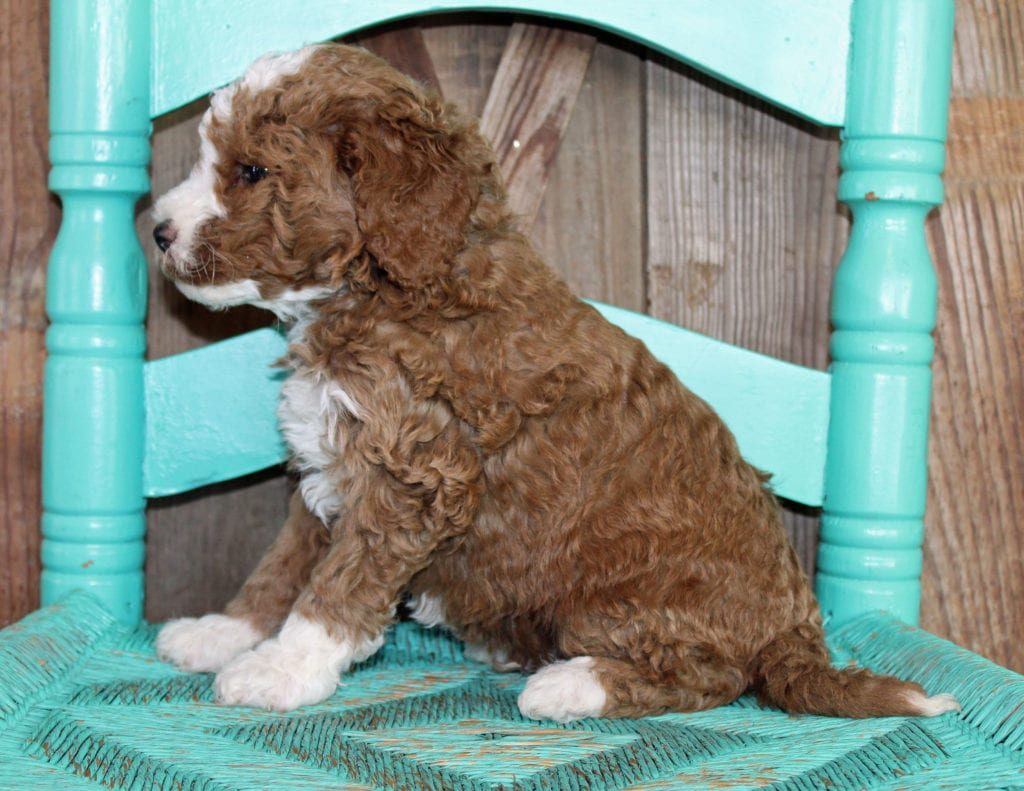 Jeff came from Cora and Toby's litter of F1BB Goldendoodles