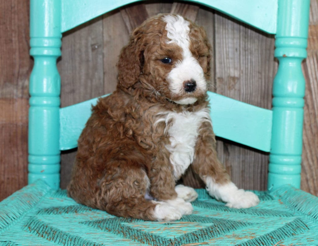 Jeff is an F1BB Goldendoodle that should have  and is currently living in California