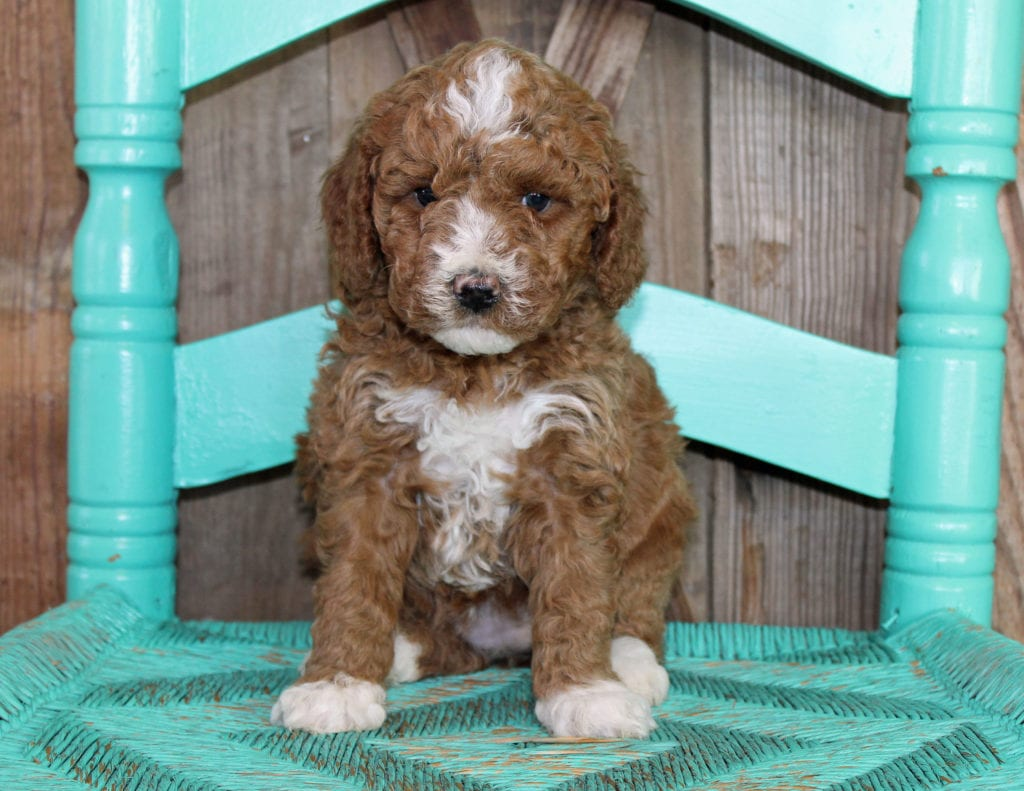 A picture of a Jill, one of our Mini Goldendoodles puppies that went to their home in Iowa