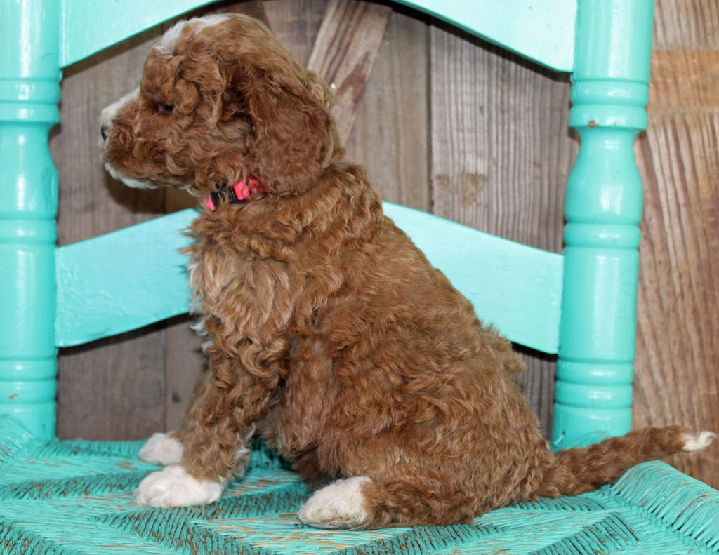 Jill came from Cora and Toby's litter of F1BB Goldendoodles
