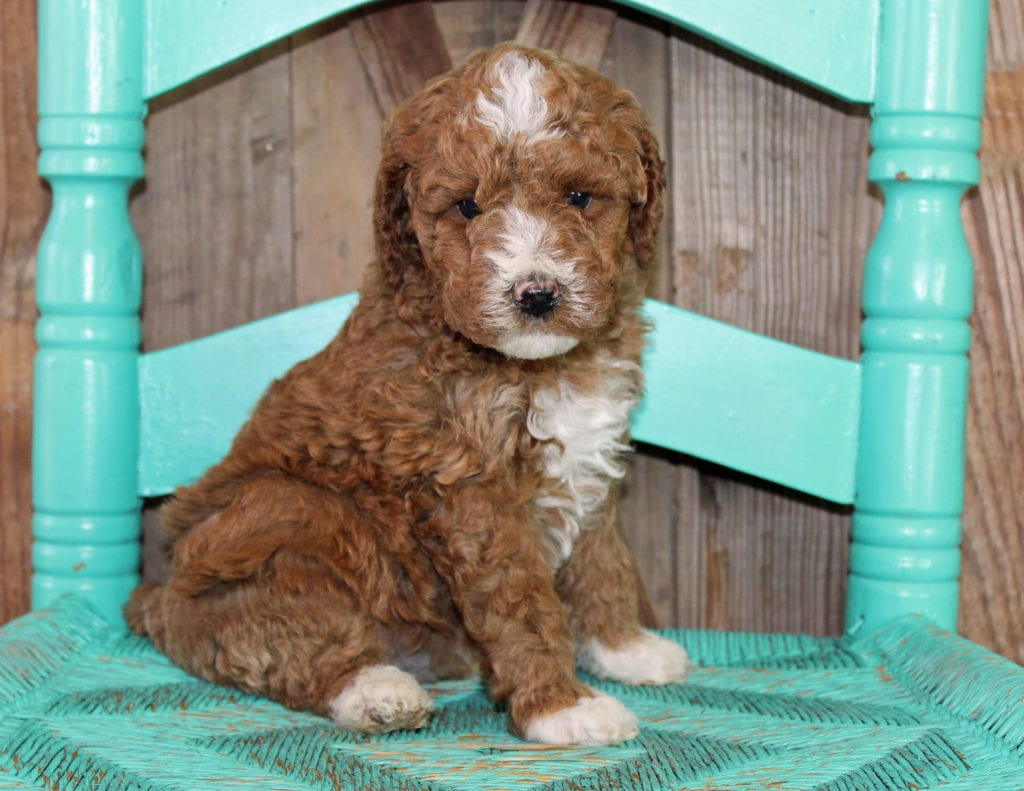 Jill is an F1BB Goldendoodle that should have  and is currently living in Iowa
