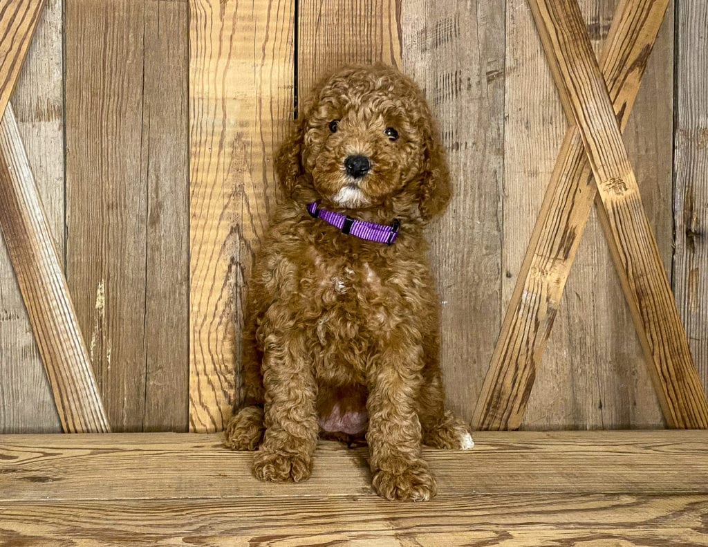 Josie came from Cora and Toby's litter of F1BB Goldendoodles