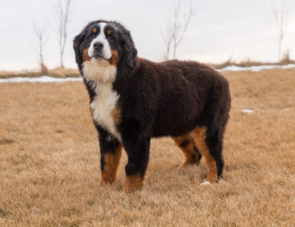 A picture of one of our Bernese Mountain Dog mother's, Josie.