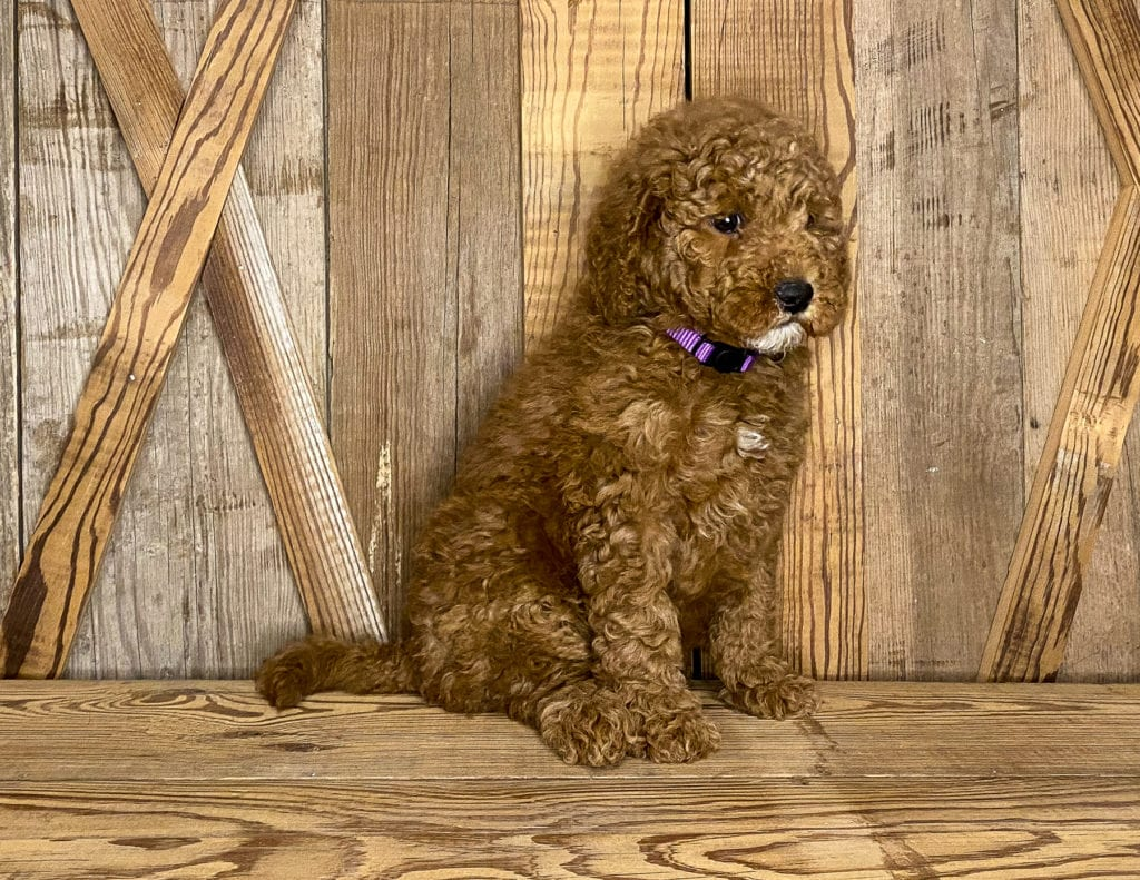 A picture of a Josie, one of our Mini Goldendoodles for sale