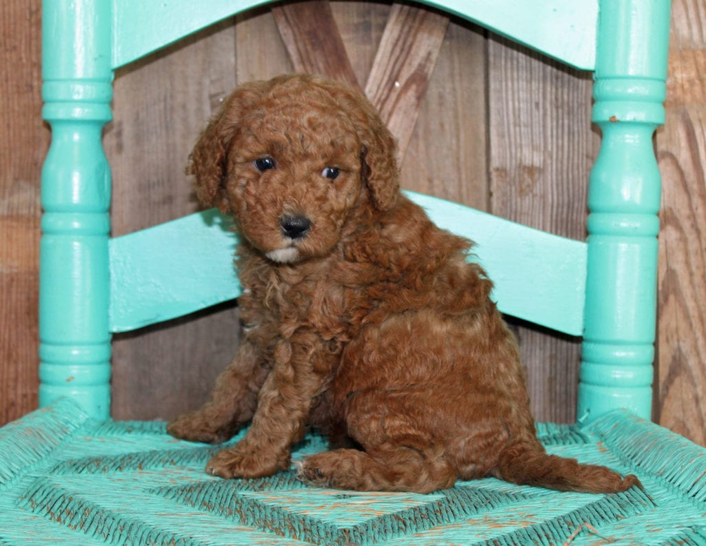 Josie is an F1BB Goldendoodle.
