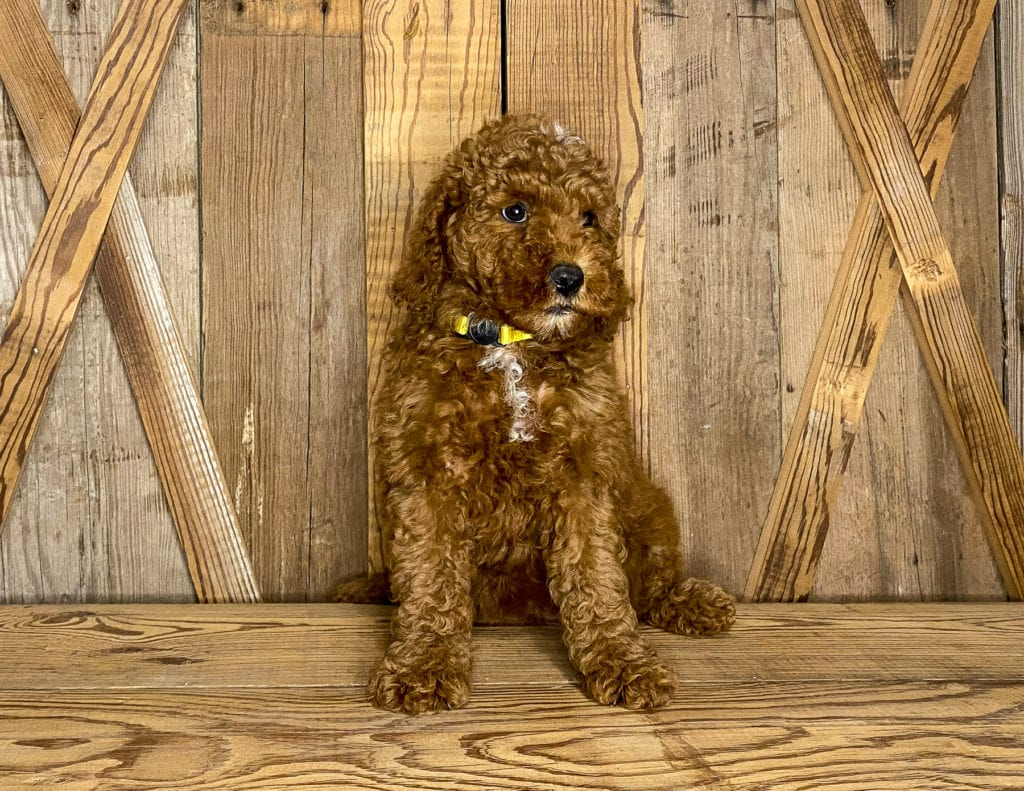 Mini Goldendoodles with hypoallergenic fur due to the Poodle in their genes. These Goldendoodles are of the F1BB generation.