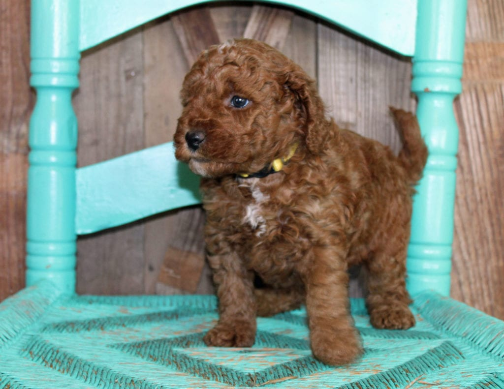 A picture of a Joy, one of our Mini Goldendoodles puppies that went to their home in Sweden
