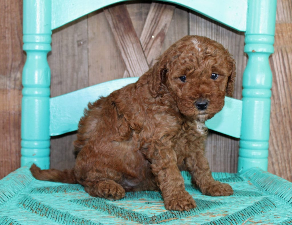 Joy came from Cora and Toby's litter of F1BB Goldendoodles