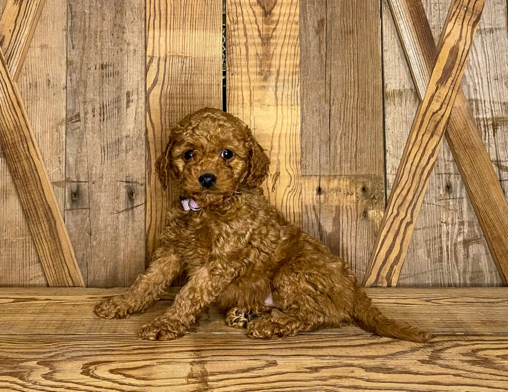 Kandy is an F1BB Goldendoodle that should have  and is currently living in California