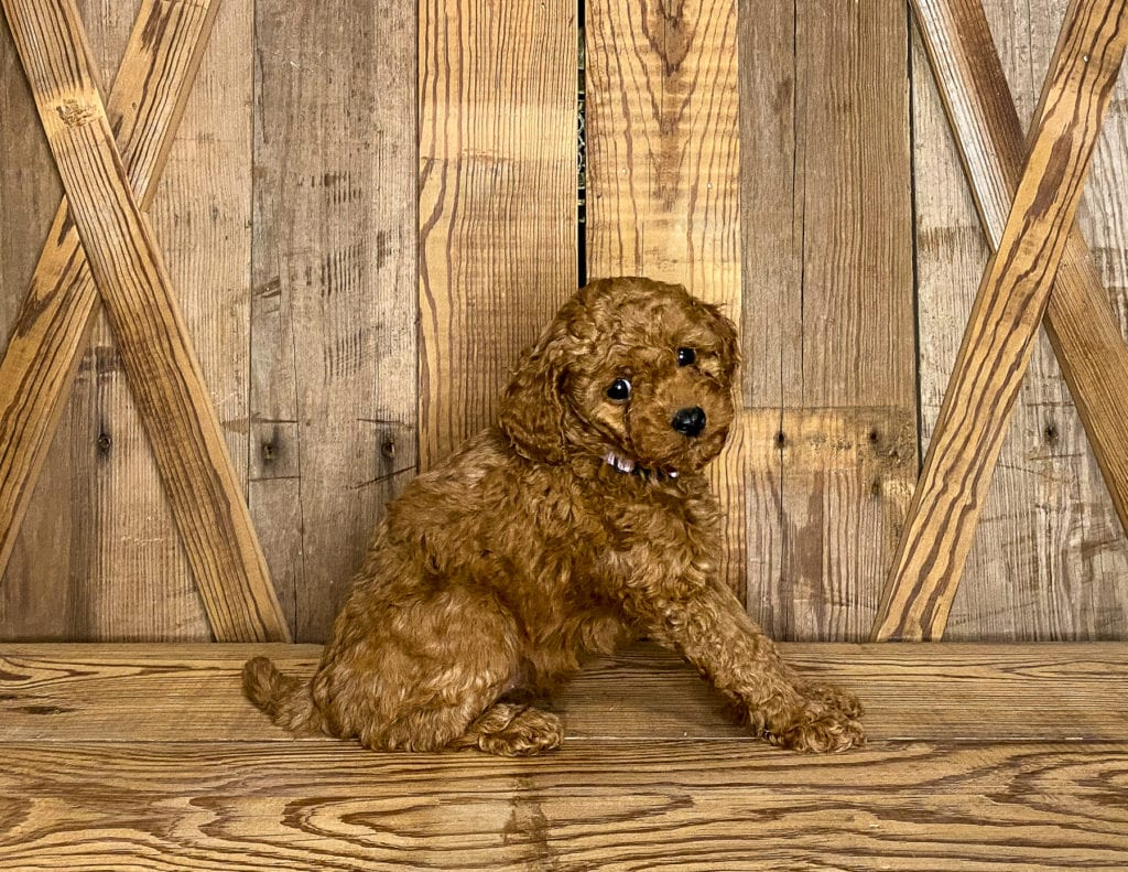 A picture of a Kandy, one of our Petite Goldendoodles puppies that went to their home in California