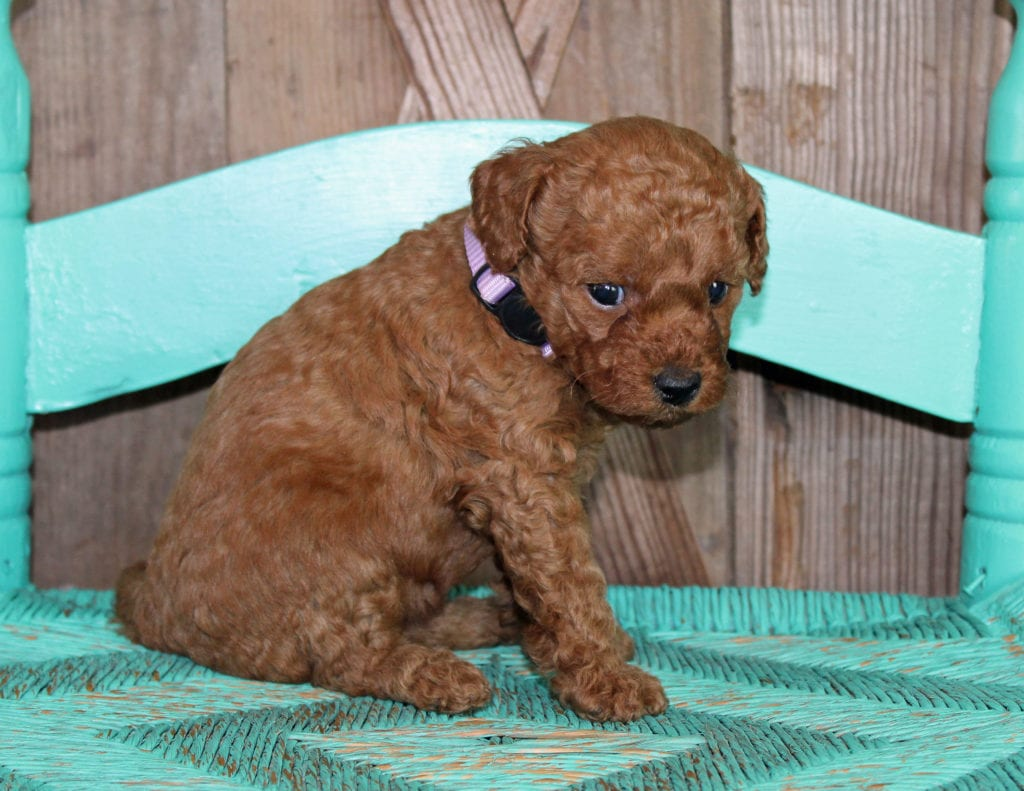 Kandy came from Scarlett and Toby's litter of F1BB Goldendoodles