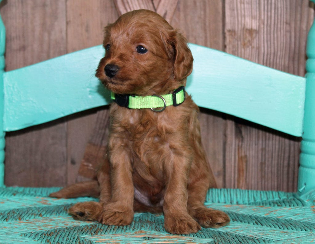A picture of a Kane, one of our Petite Goldendoodles puppies that went to their home in North Dakota