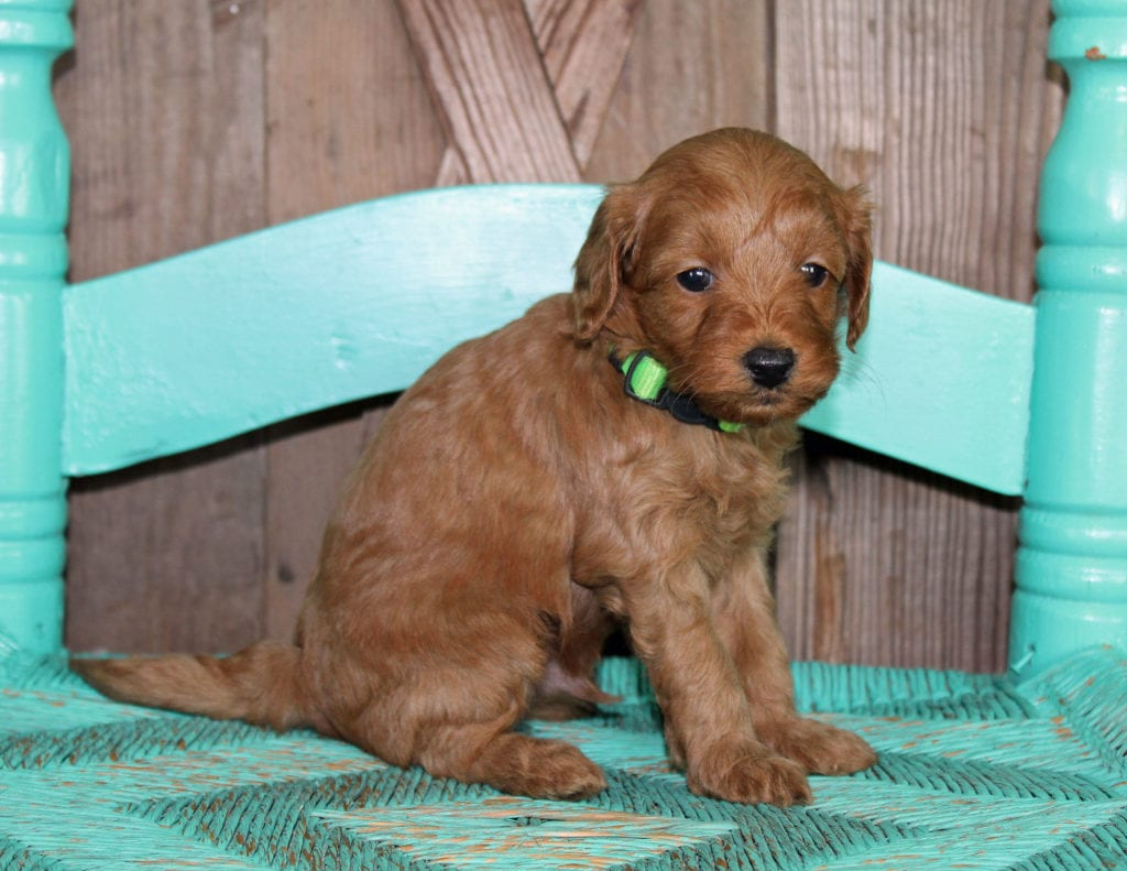 Kane came from Scarlett and Toby's litter of F1BB Goldendoodles