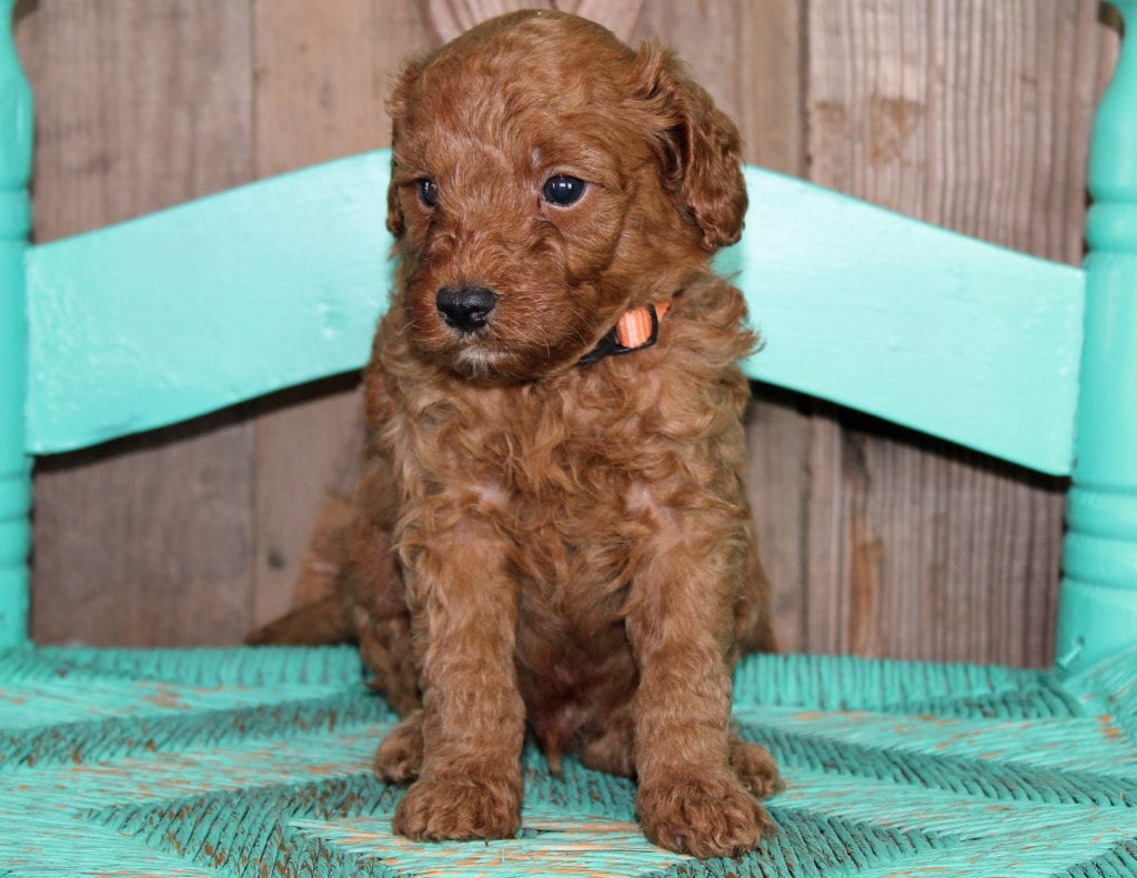 A picture of a Klaus, one of our Petite Goldendoodles puppies that went to their home in New York