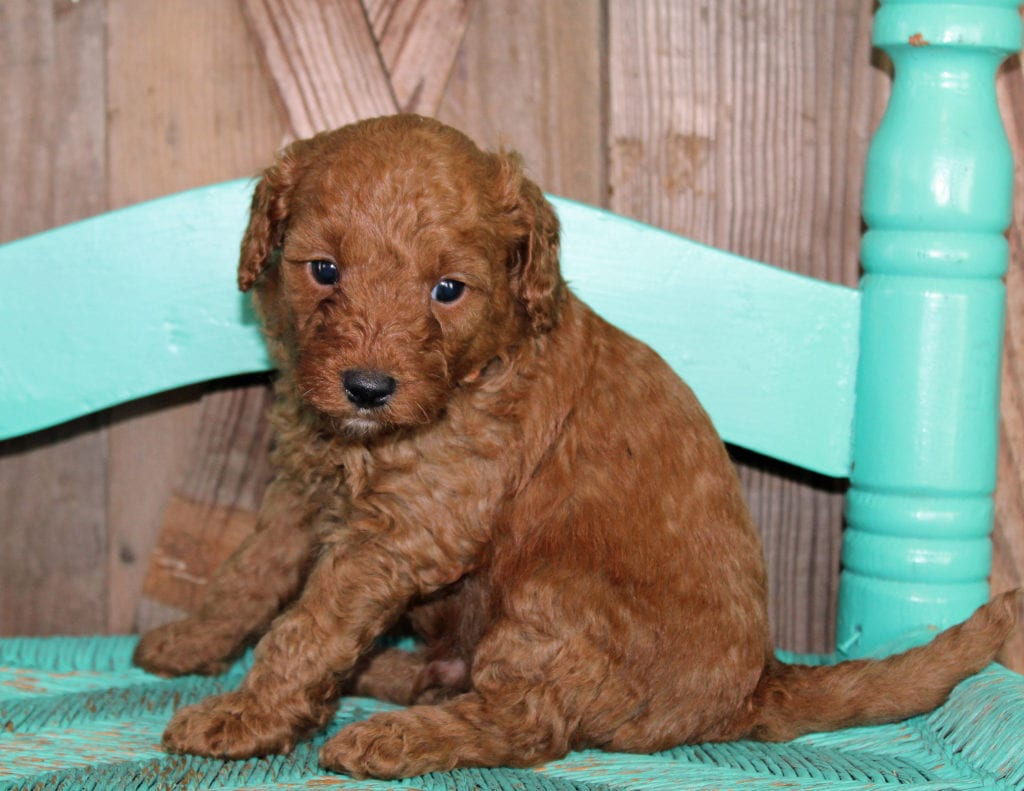 Klaus is an F1BB Goldendoodle that should have  and is currently living in New York