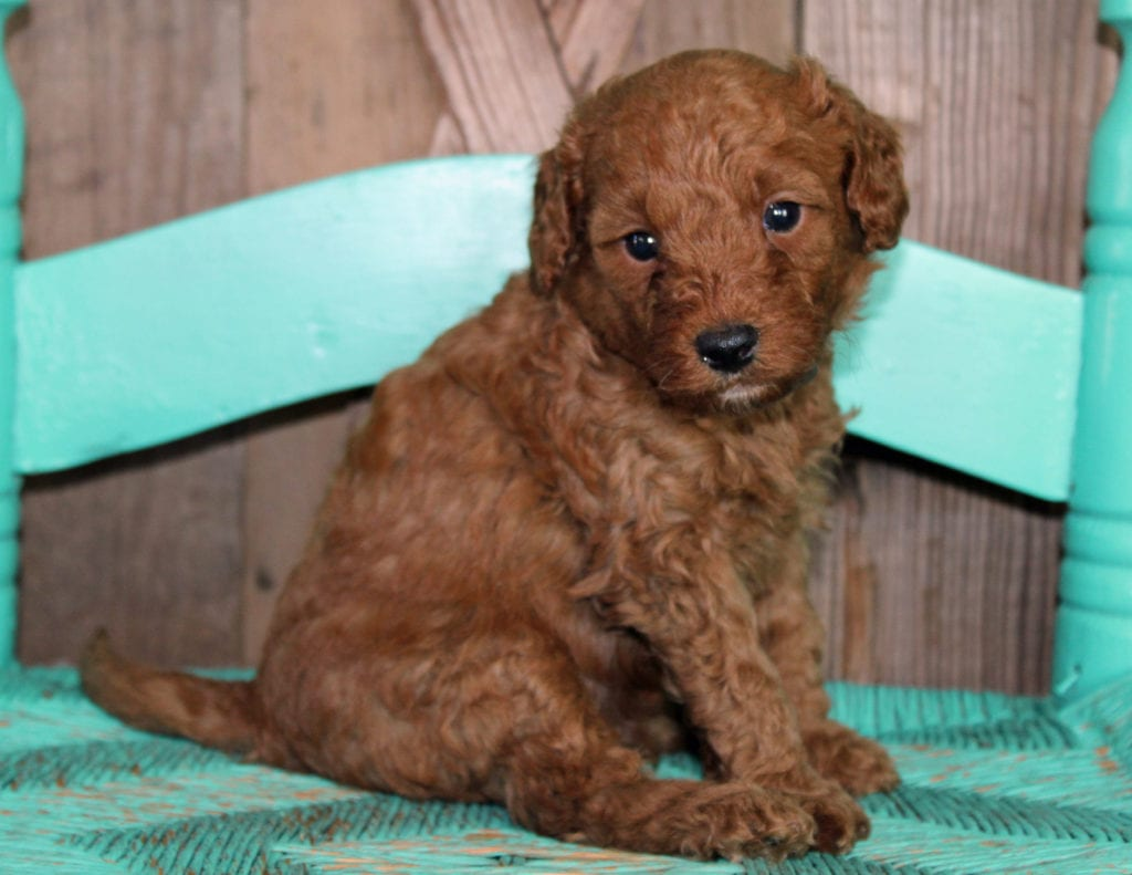 Klaus came from Scarlett and Toby's litter of F1BB Goldendoodles