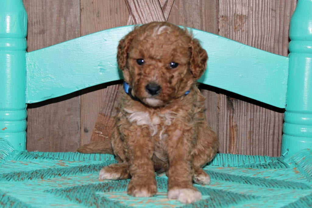 A picture of a Kringle, one of our Petite Goldendoodles puppies that went to their home in Wisconsin