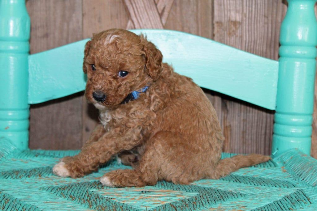 Kringle is an F1BB Goldendoodle that should have  and is currently living in Wisconsin