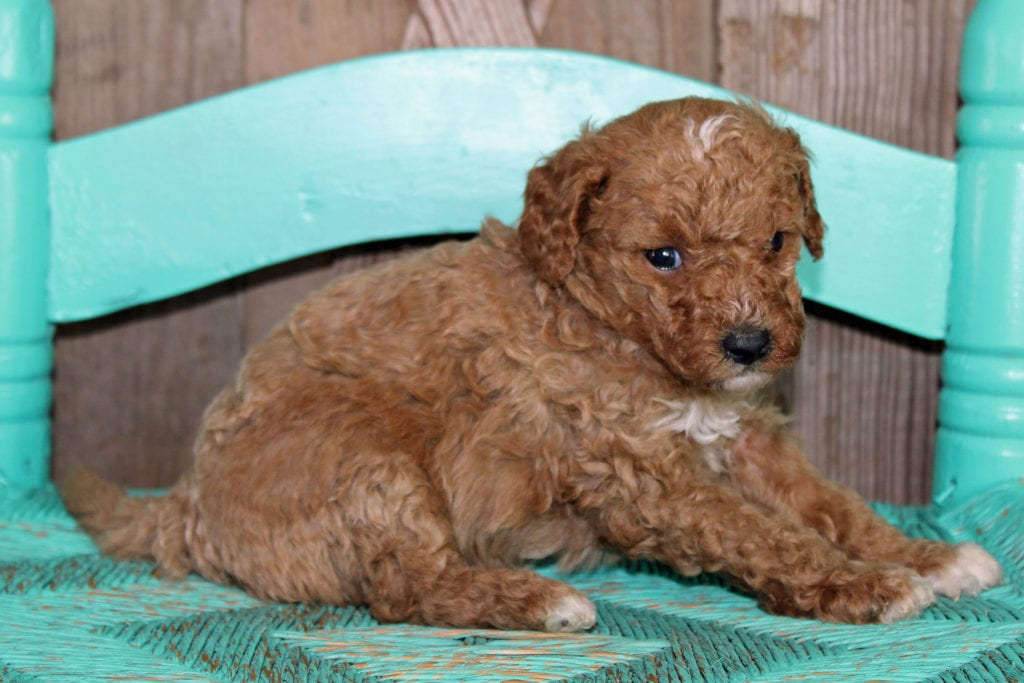 Kringle came from Scarlett and Toby's litter of F1BB Goldendoodles