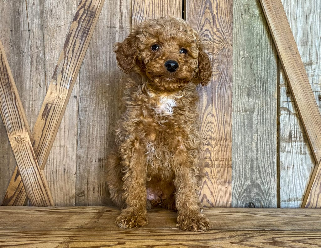 Kris is an F1BB Goldendoodle that should have  and is currently living in California