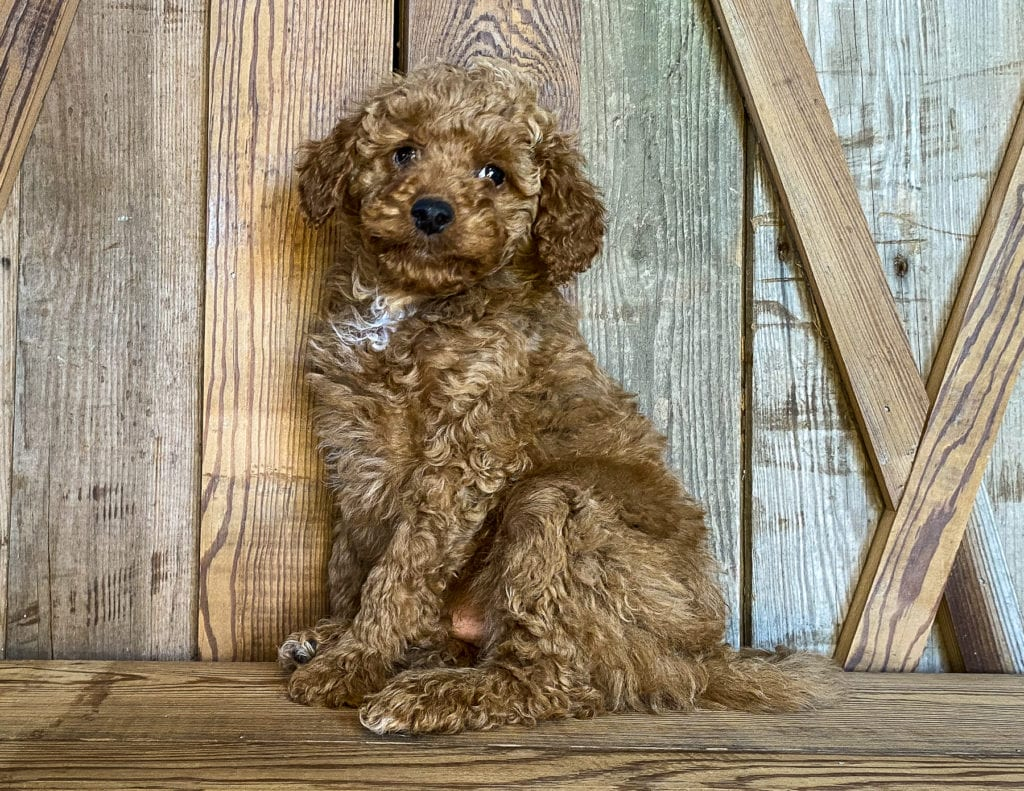 A picture of a Kris, one of our Petite Goldendoodles puppies that went to their home in California
