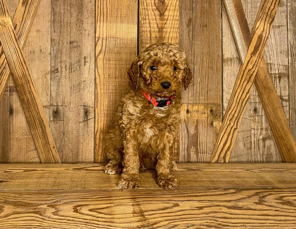 Our cute Petite Goldendoodles available for sale!