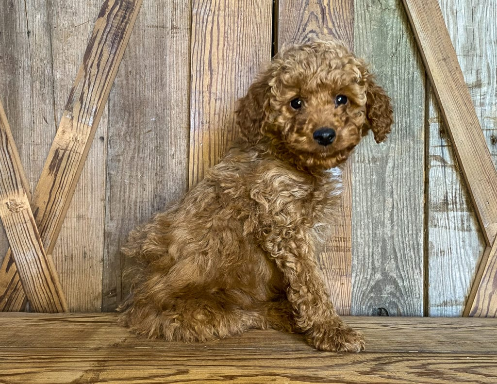 Kris came from Scarlett and Toby's litter of F1BB Goldendoodles