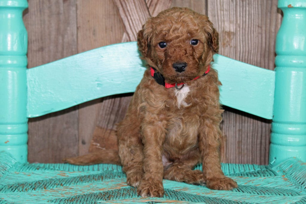 A picture of a Kris, one of our Petite Goldendoodles for sale
