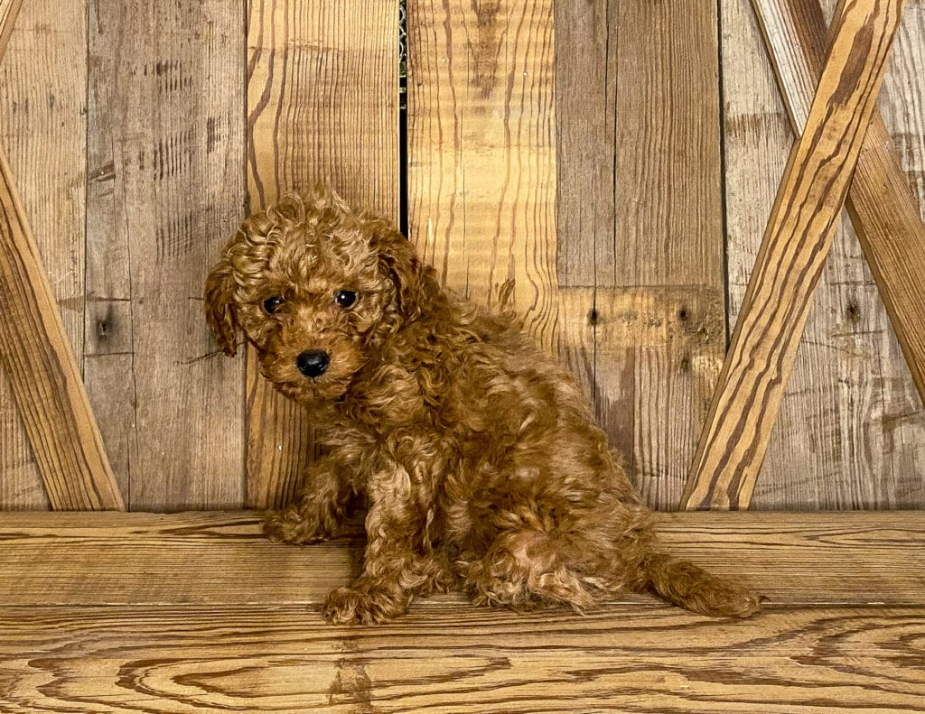 Kristmas is an F1BB Goldendoodle that should have  and is currently living in Minnesota