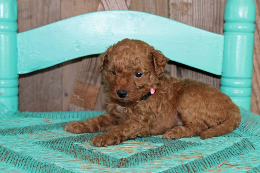 Kristmas came from Scarlett and Toby's litter of F1BB Goldendoodles