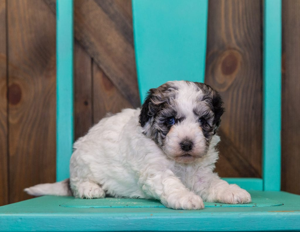 A picture of a Lola, one of our Petite Sheepadoodles for sale