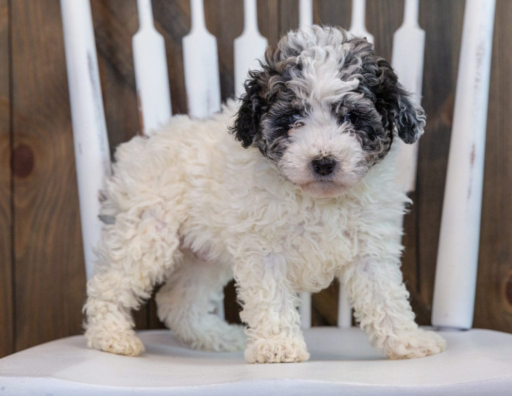A picture of a Lola, one of our Petite Sheepadoodles puppies that went to their home in California