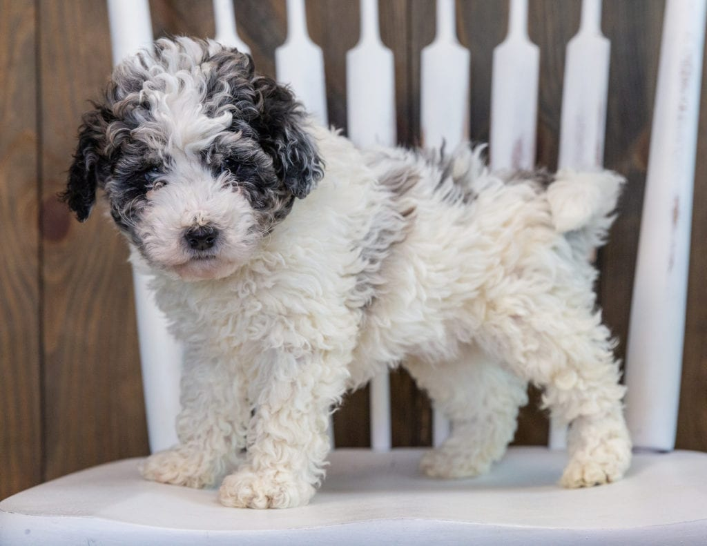 Lola is an F1BB Sheepadoodle that should have  and is currently living in California