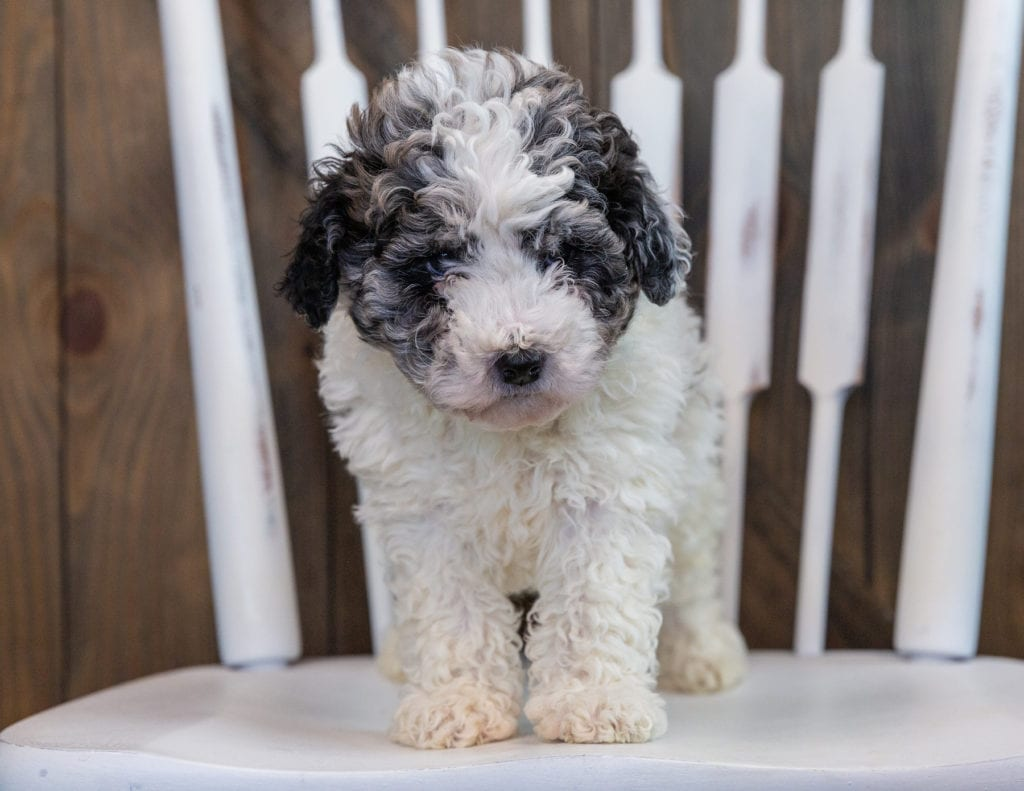Lola came from Roxy and Grimm's litter of F1BB Sheepadoodles